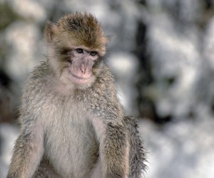 Monkeys at at Den Apes' - Top 5 reasons why you should visit Gibraltar